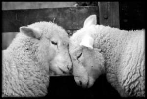 Livestock-Photo-Sheep3